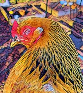 A brahma chicken