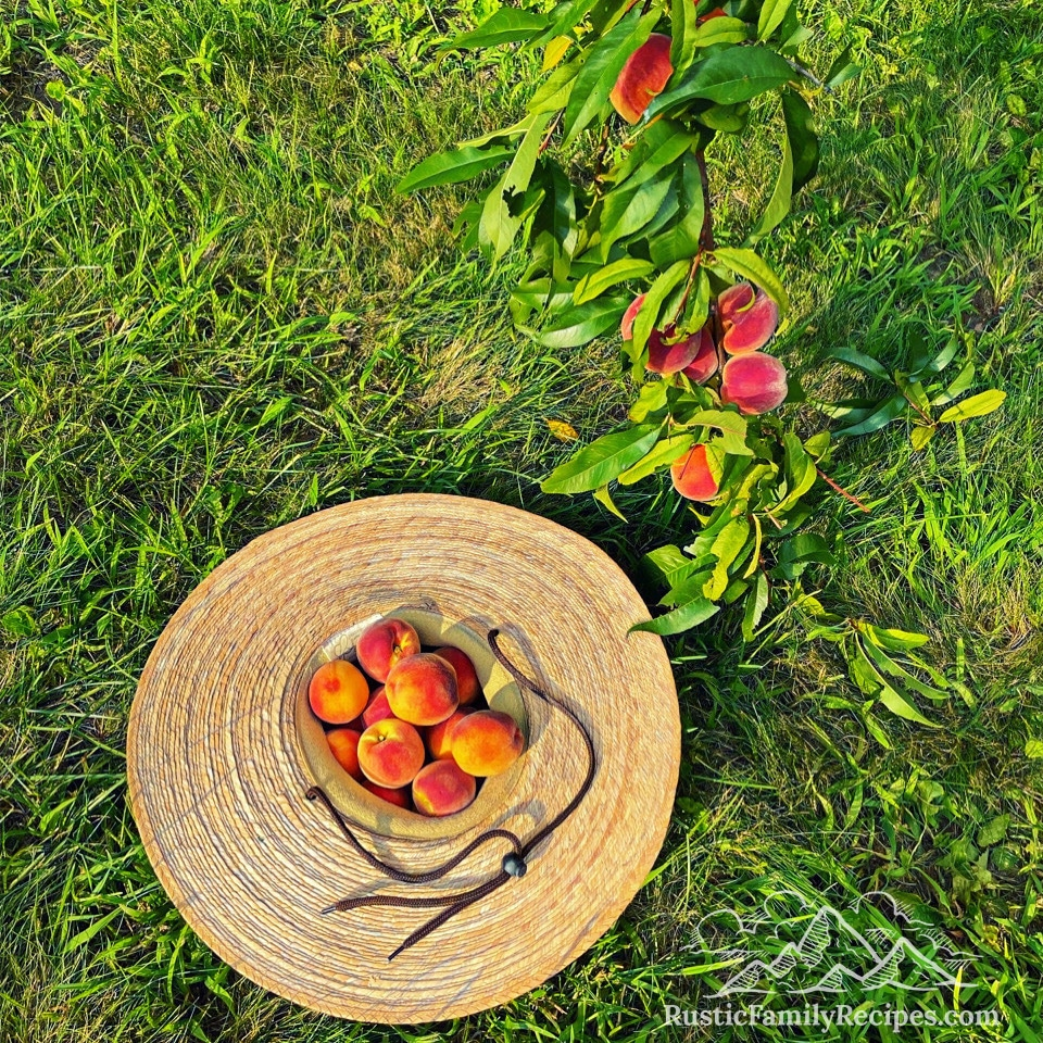 A straw hat filled with freshly picked peaches